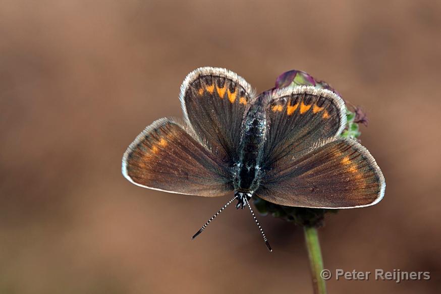 Z Gallerie Butterfly Heideblauwtje - Silver...