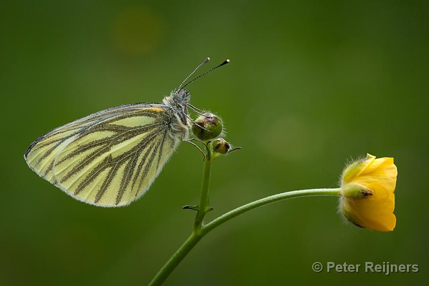 Z Gallerie Butterfly Klein Geaderd Witje - ...