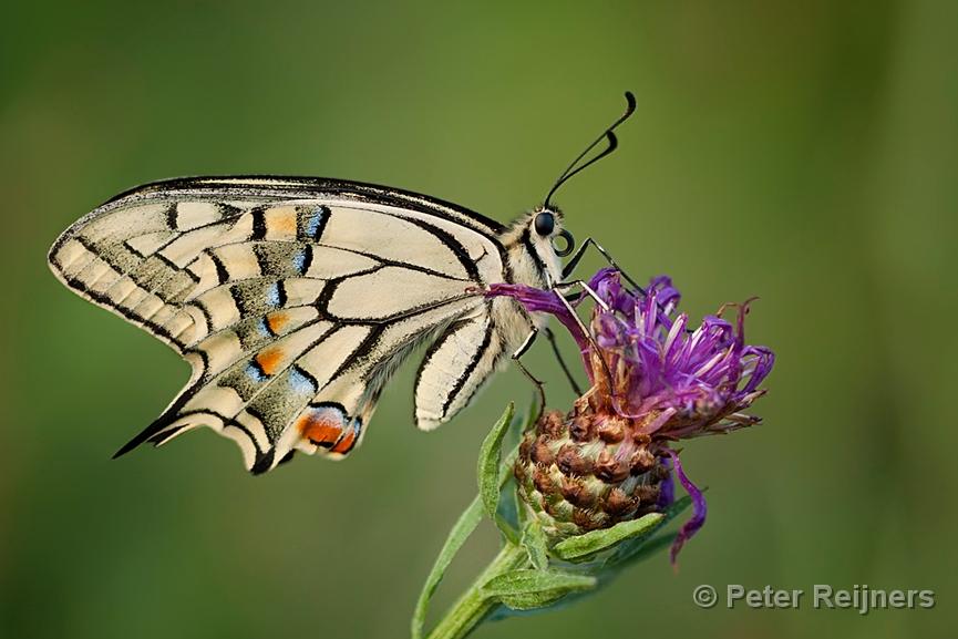 Z Gallerie Butterfly Koninginnepage - Swall...